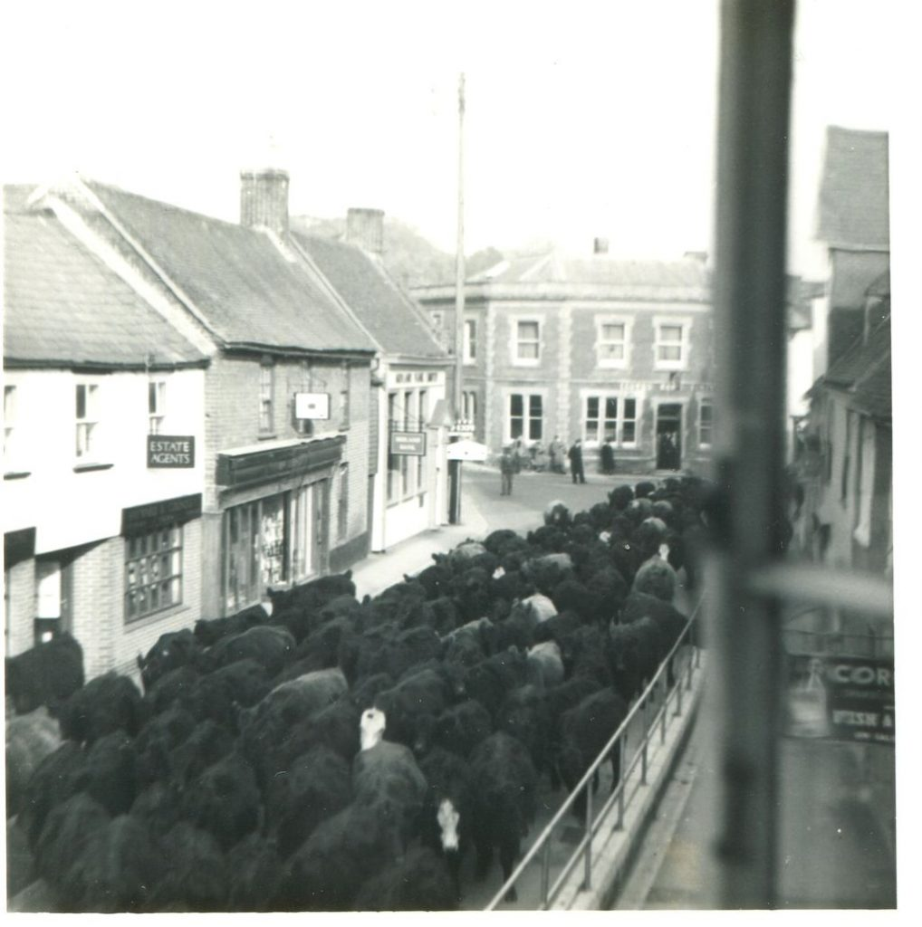 Galloways moving through Fordingbridge